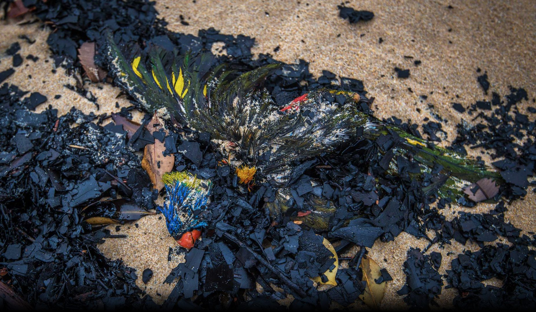 Thousands of birds, like this Rainbow Lorikeet, washed up dead  amongst charcoal on Mallacoota beach, January 2020. Photo: Justin McManus.