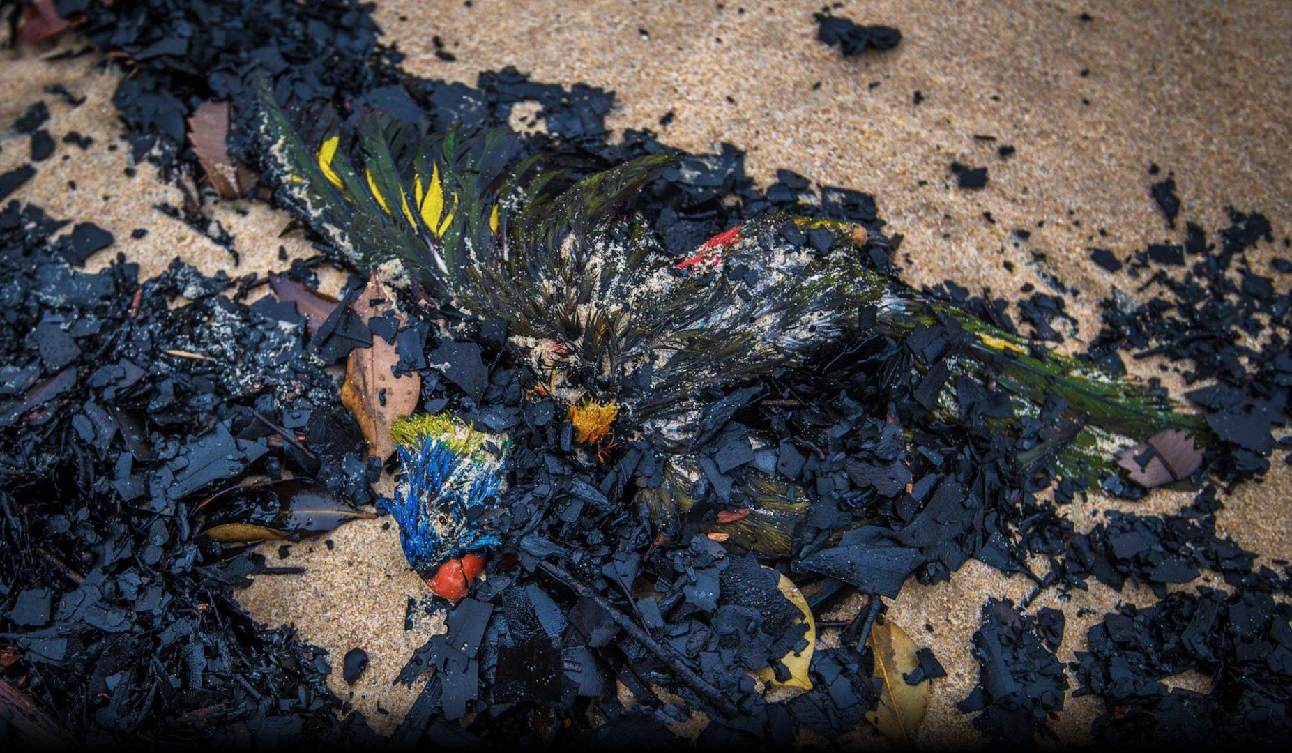 Thousands of birds, like this Rainbow Lorikeet, washed up dead  amongst charcoal on Mallacoota beach, January 2020. Photo: Justin McManus.